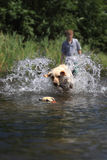 Boy and Dog Playing Fetch. A female Yellow Labrador Retriever fetches a retrieving dummy in shallow water as her young male trainer looks on Royalty Free Stock Images