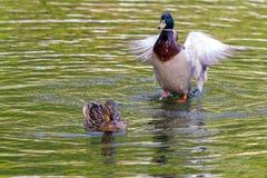 Boy duke and girl duke at the lake. Duke returns to his girlfriend at the lake. Birds at the water Royalty Free Stock Image