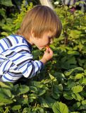 Boy eating strawberries. Young boy eating strawberries directly from the garden Royalty Free Stock Photography