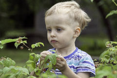 The boy eats raspberries in the garden Royalty Free Stock Photo