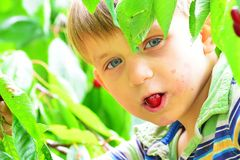 The boy eats a red, ripe cherry on a tree among the green leaves. stock photography