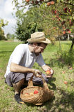 Boy farmer who gathers peaches from the orchard with straw hat and basket Royalty Free Stock Photos
