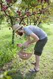 Boy farmer who gathers peaches from the orchard with straw hat and basket Royalty Free Stock Image
