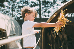 Boy feeding animals on farm stock photography