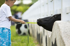 Boy feeding the cow Royalty Free Stock Image