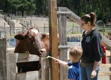 Boy feeding a cow Royalty Free Stock Photos