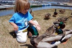 Boy feeding ducks. Little boy feeding ducks out of his hand by June Lake Stock Photos