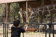 Boy feeding giraffe. A young boy feeding a giraffe (Giraffa camelopardalis) in a zoo enclosure stock photos