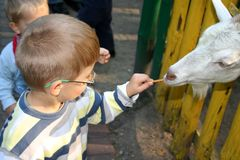 Boy feeding goat. A billy goat eating out of a child's hand Royalty Free Stock Image