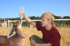 Boy feeding Goat. Young boy feeding a baby nubian goat with a bottle Royalty Free Stock Images