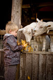 Boy feeding goats. Stock Photos