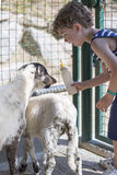 Boy feeding goats royalty free stock images