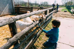 Boy feeding goats Stock Photo