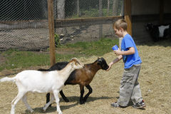 Boy feeding goats at the zoo Stock Images