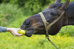 Boy is feeding horse with apple Royalty Free Stock Photography