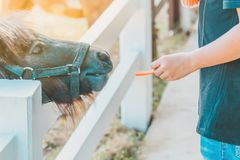 Boy feeding horse in his farm royalty free stock image