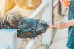 Boy feeding horse in his farm through a white fence stock photos