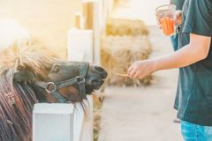 Boy feeding horse in his farm through a white fence royalty free stock photography
