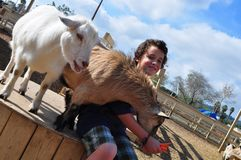 Boy feeding hungry goats Royalty Free Stock Photo