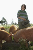 Boy Feeding Pigs In Sty Stock Images