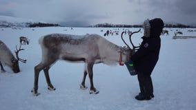 Boy feeding reindeer in the winter. Cute little boy in a warm winter jacket feeding reindeer in the winter, Tromso region, Northern Norway stock video footage