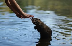 Boy feeds a beaver rat royalty free stock photo