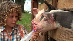 Boy feeds milk to pigs stock footage