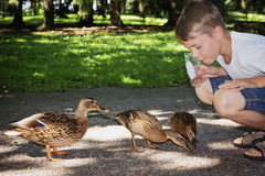 Boy feeds  wild ducks Royalty Free Stock Image
