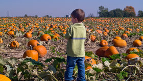 Boy in a field of Pumpkins stock photography
