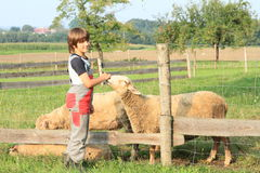 Boy stroking a sheep Royalty Free Stock Images