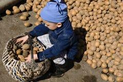 Boy gathering potato royalty free stock photo