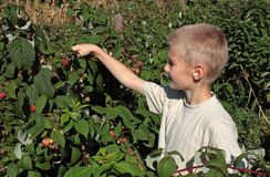 Boy gathering raspberries Royalty Free Stock Photos