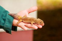 Boy with gecko. Man holds in hands reptile gecko. Common leopard reptile gecko pets. Exotic tropical cold-blooded animals, zoo. Male hands is holding common stock images