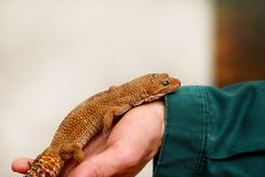 Boy with gecko. Man holds in hands reptile gecko. Common leopard reptile gecko pets. Exotic tropical cold-blooded animals, zoo. Male hands is holding common royalty free stock photography