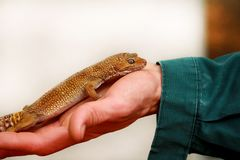 Boy with gecko. Man holds in hands reptile gecko. Common leopard reptile gecko pets. Exotic tropical cold-blooded animals, zoo. Male hands is holding common stock photography