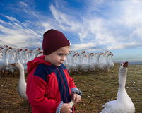 Boy and geese. Royalty Free Stock Images