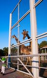 A boy and a giraffe in a cage. Little boy reaching for a giraffe at the zoo royalty free stock photos
