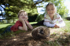 Boy (4-6) and girl (7-9) lying on grass in garden, watching hedgehog, smiling, surface level, focus on foreground (tilt) Stock Image