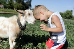 Boy and goat head butting. Boy and goat playing through head butting stock photos