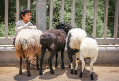 Boy with goats for sale Royalty Free Stock Photo