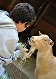 Boy hand feeding goat royalty free stock images