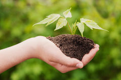 Boy hands holding young plant Stock Photography
