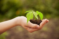 Boy hands holding young plant Royalty Free Stock Photo