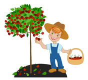 Boy happy farmer collects cherry Royalty Free Stock Photo