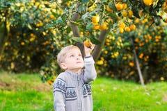 Boy harvest of mandarin orange on fruit farm Royalty Free Stock Images