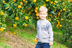 Boy harvest of mandarin orange on fruit farm Stock Images