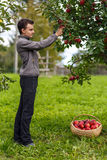 Boy harvesting apples Stock Photo