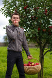 Boy harvesting apples Royalty Free Stock Image