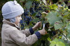 Boy harvesting the grape. Young boy harvesting the blue grape, in the autumn sun Stock Photography