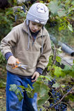 Boy harvesting the grape Stock Images